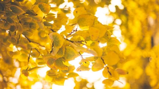 light brown or yellow leafed trees