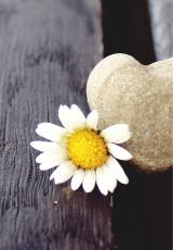 There is sunflower alongside a heartshaped stone, which is half see.
